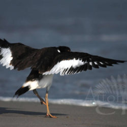 Oystercatcher Spirit Dance